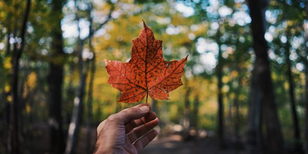 A hand holding a maple leaf outdoor
